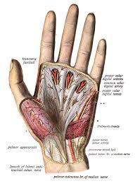 aponeurosis palmar 1