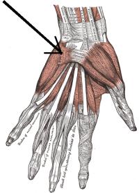 aponeurosis palmar 3
